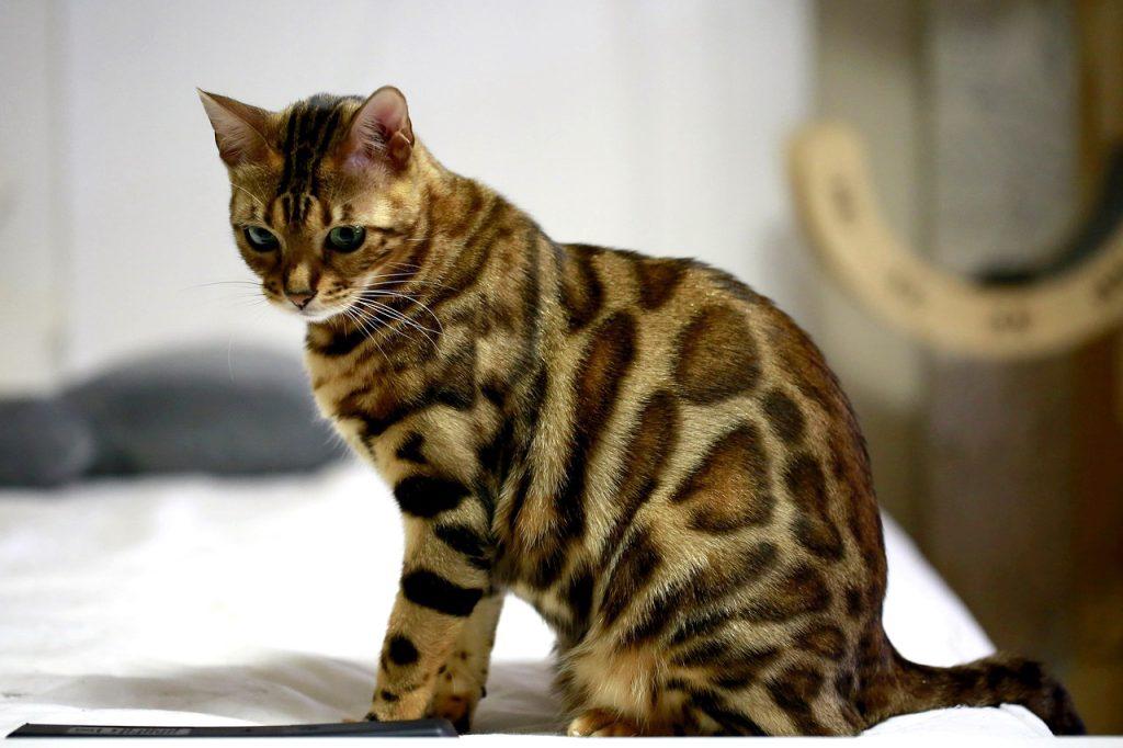 бенгальская домашняя кошка