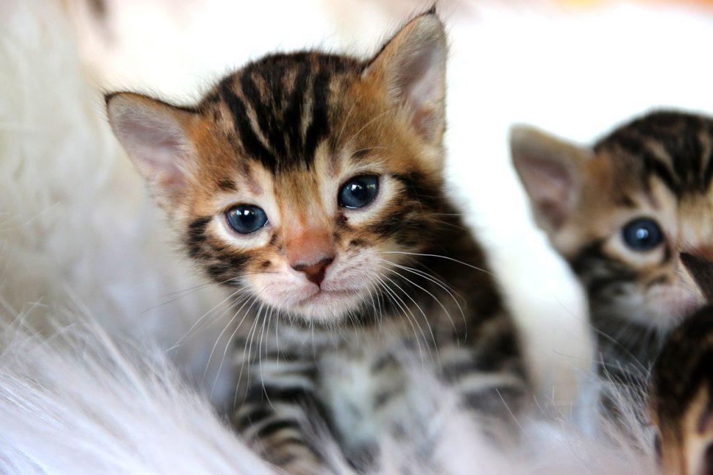 бенгальская домашняя кошка котенок