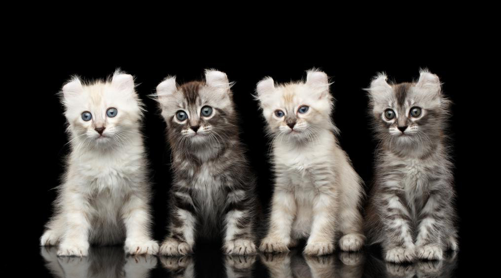 американский керл котята, американский керл котенок
