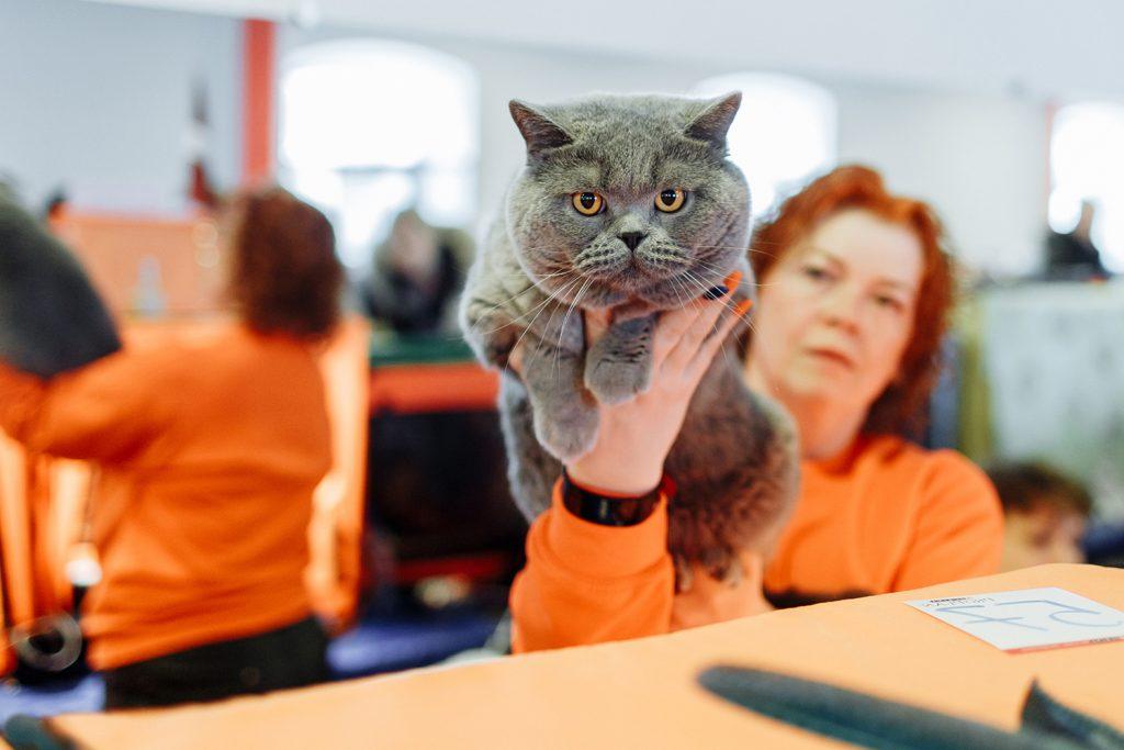 британский короткошерстный кот в руках у заводчицы