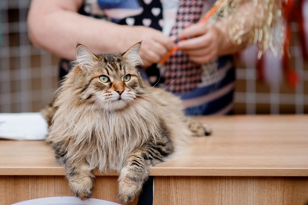 фелинолог, сибирский кот на столе у эксперта-фелинолога