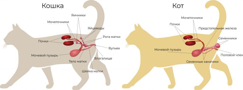 половая система кота и кошки схема
