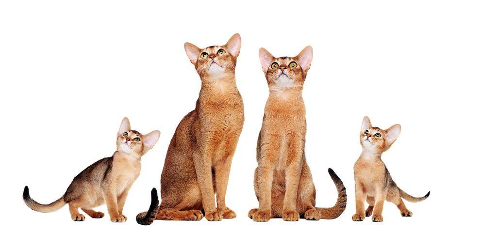 абиссинские кошки родители и их котята