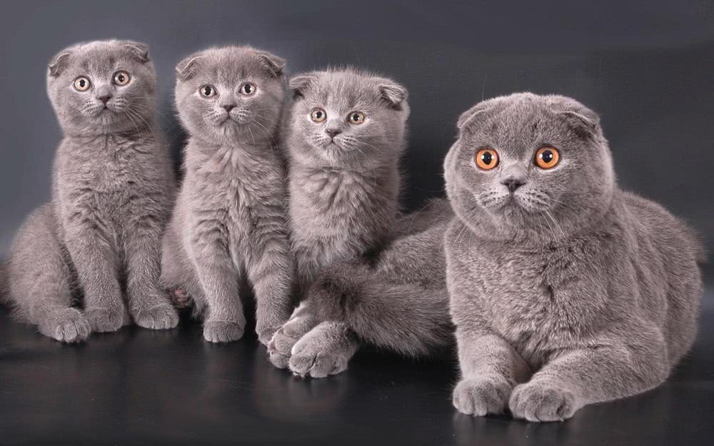 голубая шотландская вислоухая кошка, голубые шотландские вислоухие котята