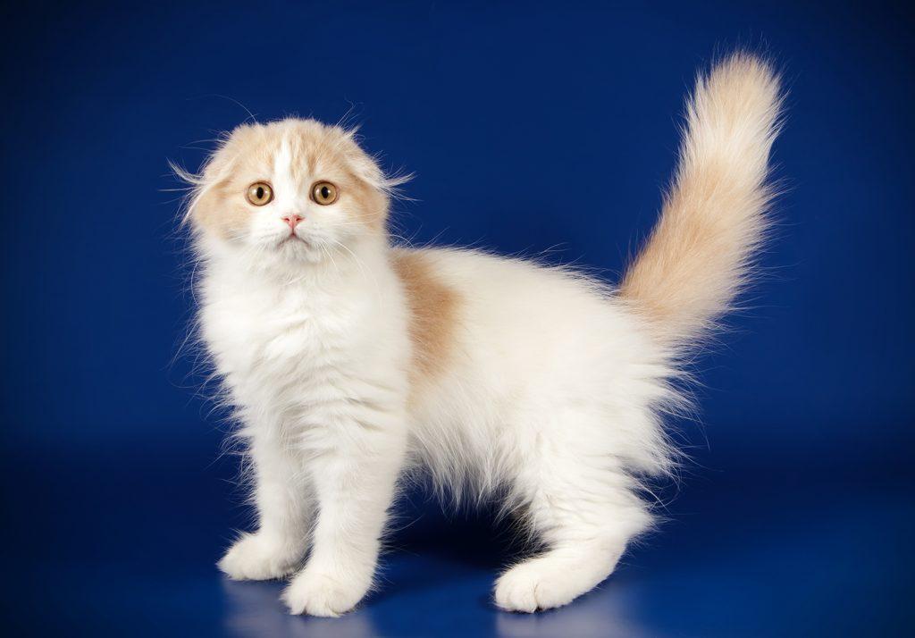 длинношерстный шотландский вислоухий котенок биколор