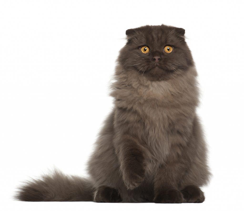 длинношерстный шотландский вислоухий кот шоколадного окраса