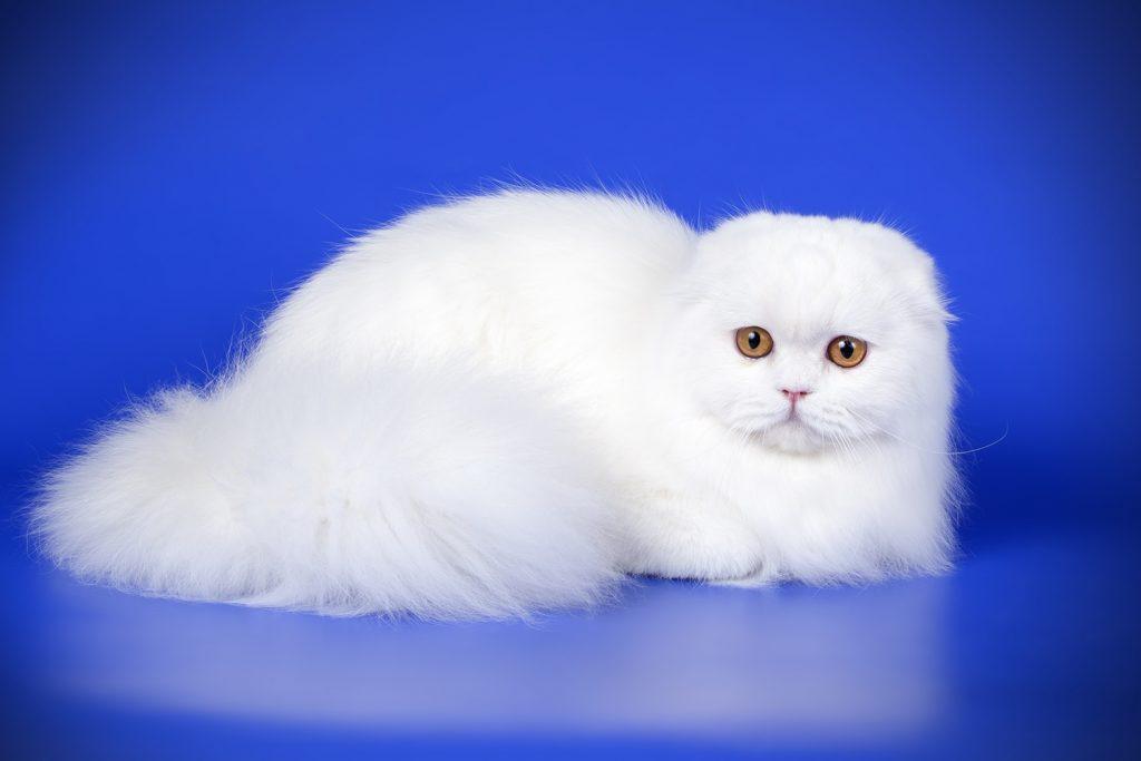 белая длинношерстная шотландская вислоухая кошка