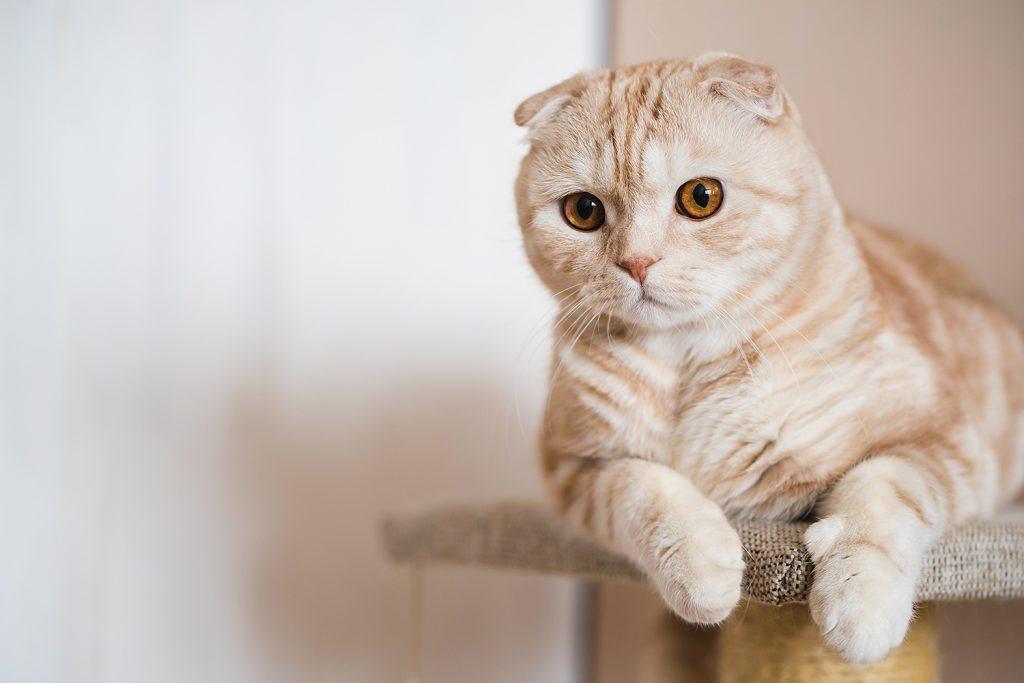 шотландская вислоухая кошка кремовый табби