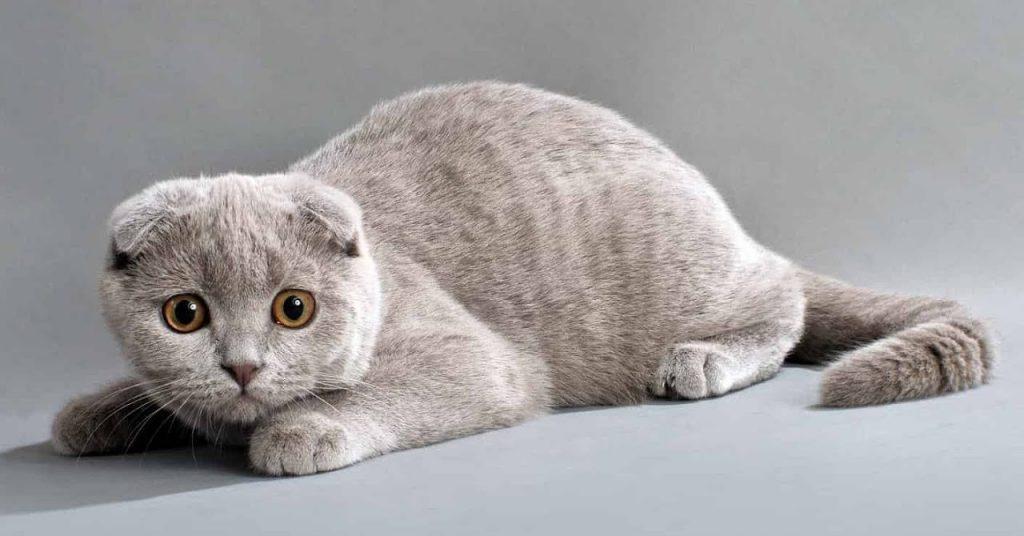 серая шотландская вислоухая кошка