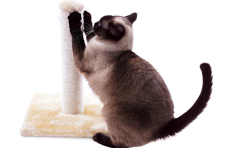 как приучить взрослого кота к когтеточке