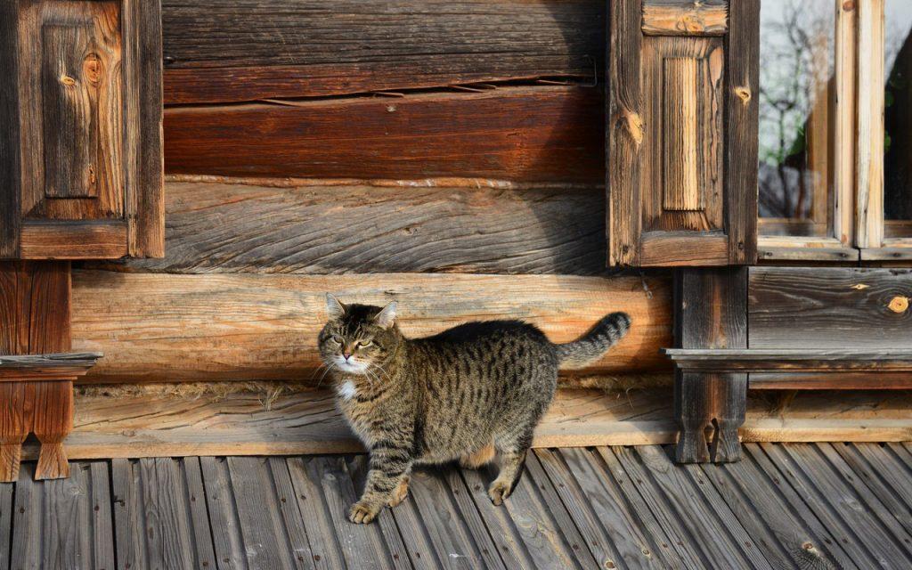 кот в деревне - как одомашнили кошку