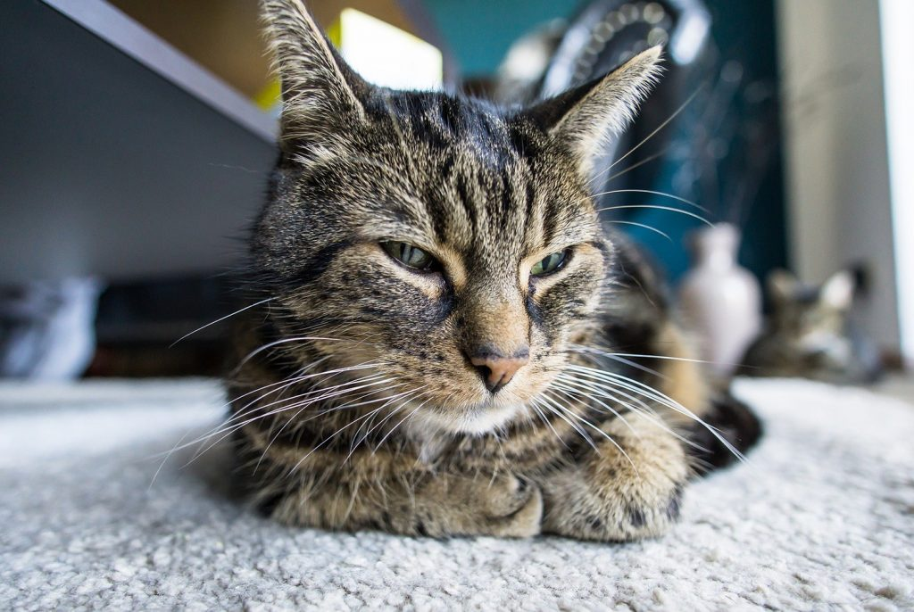 fip у кошки инфекционный перитонит