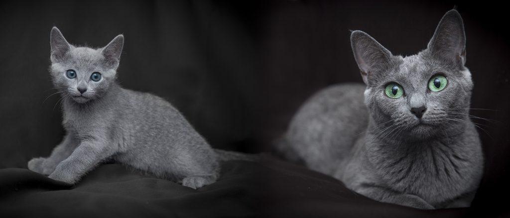 русская голубая кошка и котёнок