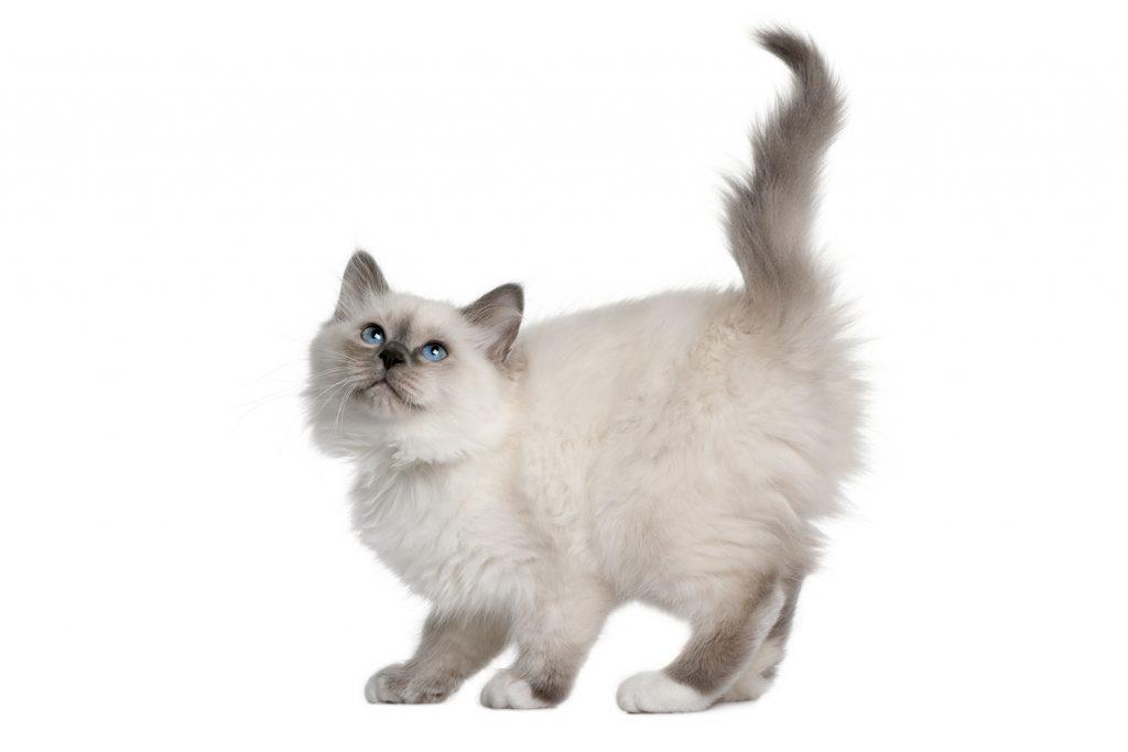 бирманская кошка котёнок