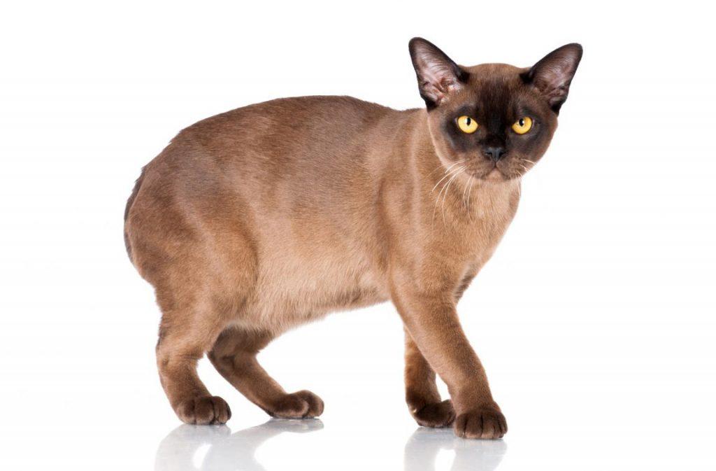 кот породы бурма