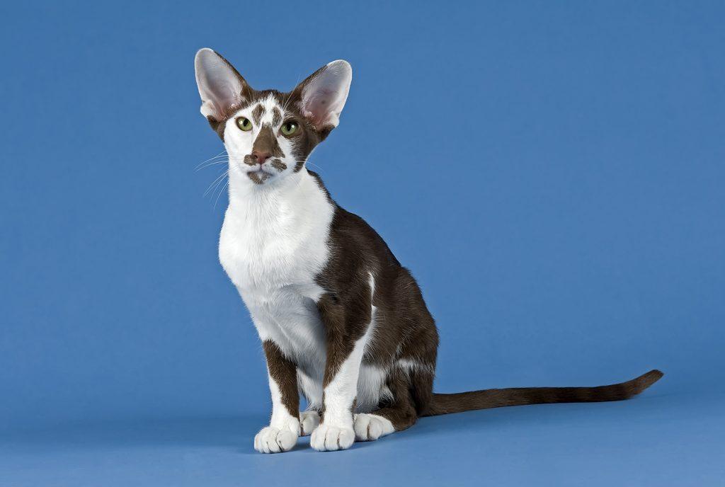 кот породы ориентал