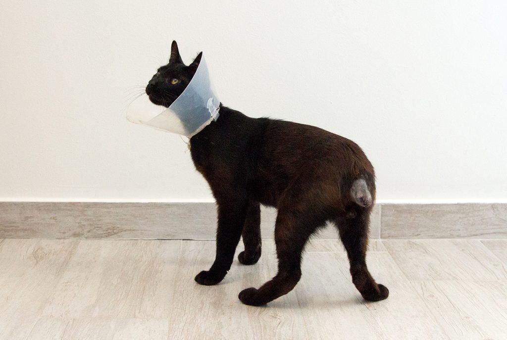 ампутация хвоста у кошки