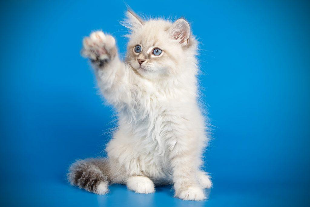 Невская маскарадная кошка котёнок