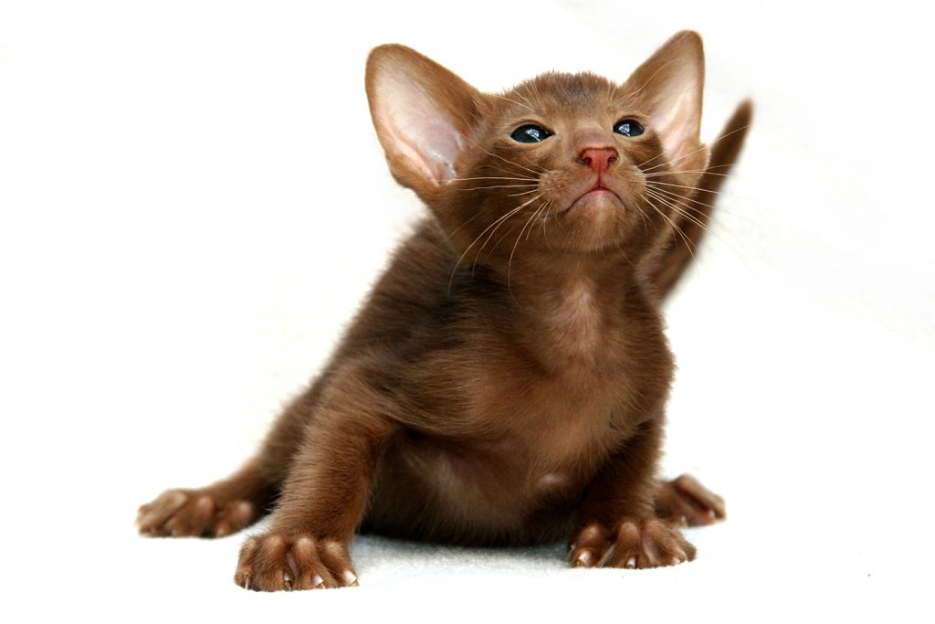 котёнок породы ориентал
