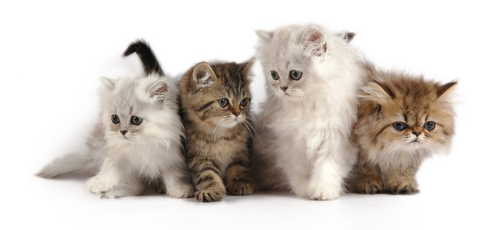 порода кошек перс персидская кошка котята