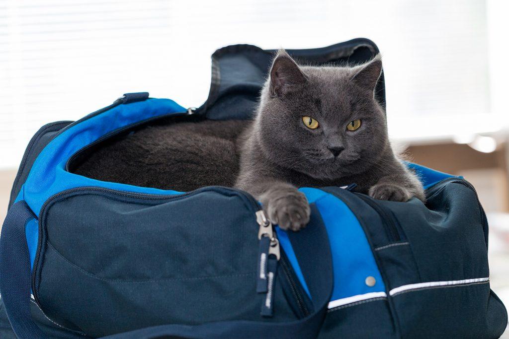 Как перевезти кошку без переноски