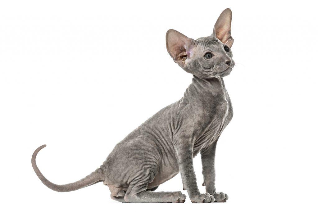 кот породы петерболд котёнок