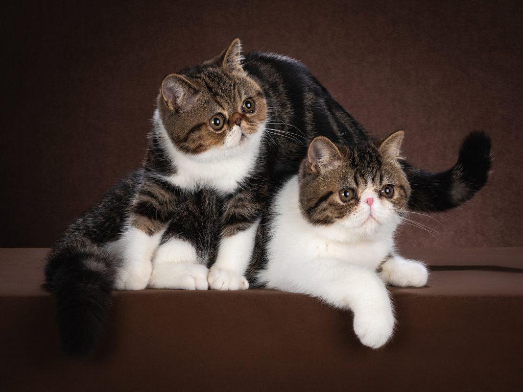 кот породы экзот, экзотическая кошка