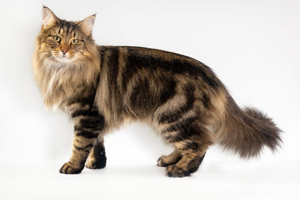 норвежская лесная порода кошек норвежская лесная кошка