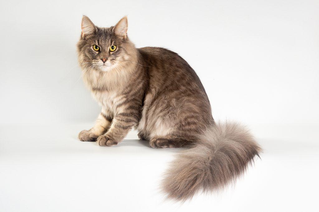 норвежская лесная порода кошек норвежский лесной котёнок