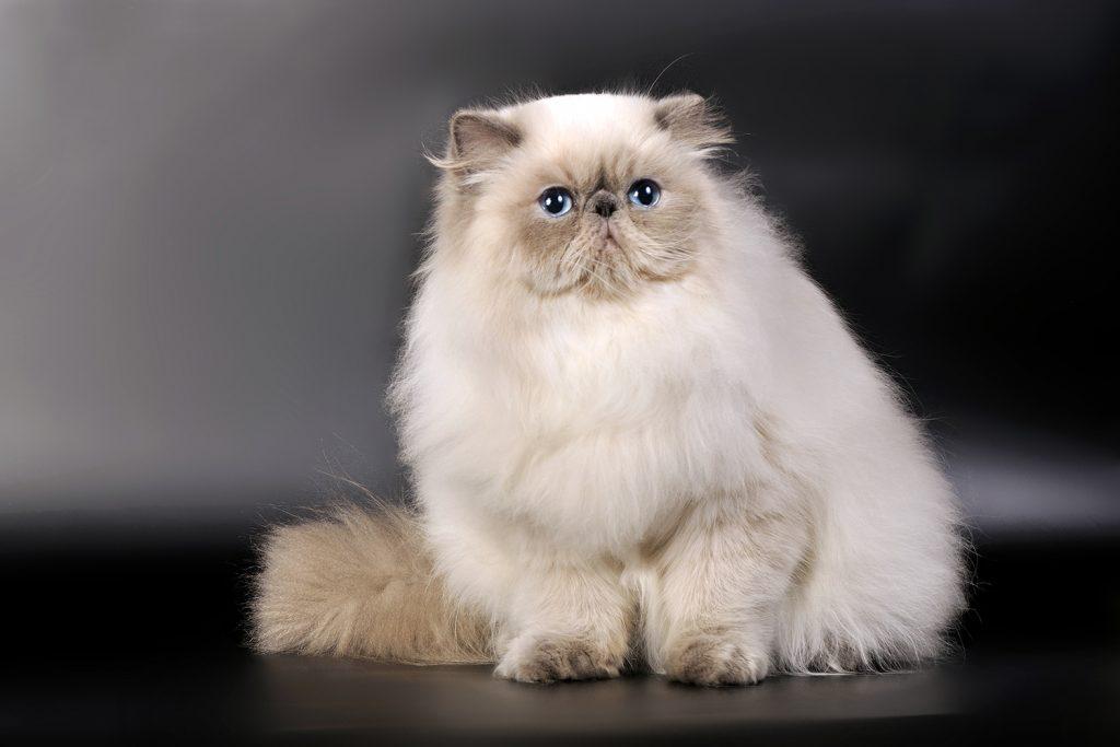 кот гималайской породы гималайская кошка