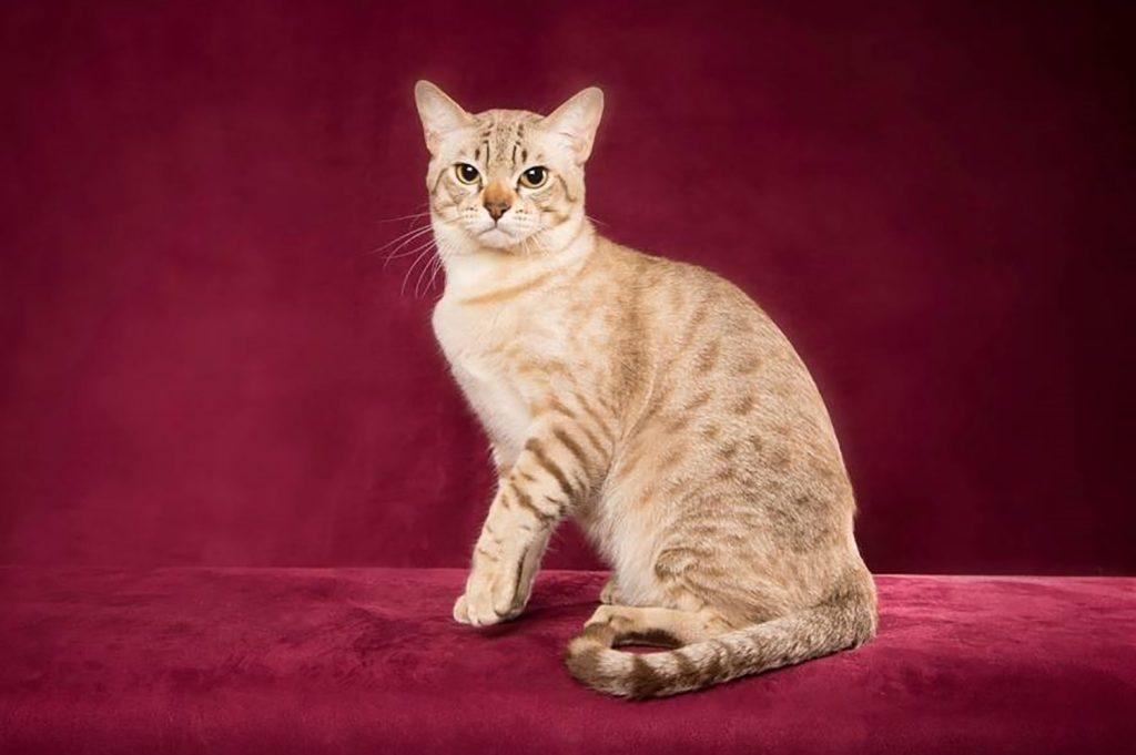 австралийский мист кошка